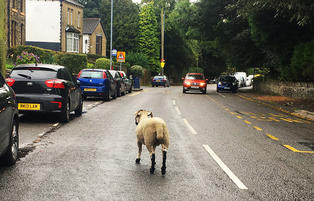 Sheep in the street
